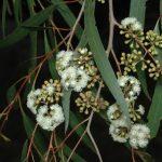 Eucalyptus elata Australian native plant