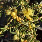 Hypocalymma linifolia Australian native plant
