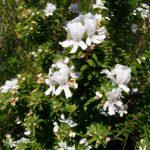 Westringia fruticosa Zena Australian native plant