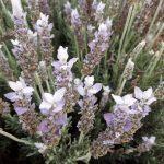 Lavender Paleface perennial plant
