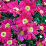 Argyranthemum Red Baron perennial plant