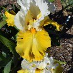 Tall bearded iris Alpine Harmony