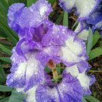 Tall bearded Iris Kissing Circle