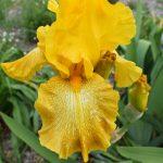 Tall bearded iris Shaft of Gold