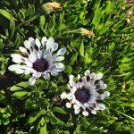 Osteospermum White Spider perennial plant