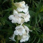 penstemon White Bedder perennial plant