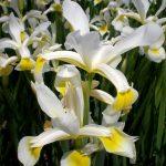 iris orientalis perennial plant