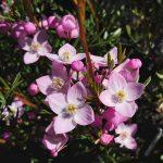 Boronia muelleri x pinnata Australian Native Plant