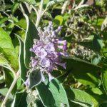 Buddleia species