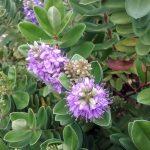 Hebe Wiri Image perennial plant