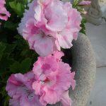 Pelargonium Palmyra Princess perennial plant