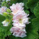 Pelargonium Rosebud Gem perennial plant
