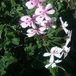 Pelargonium echinatum perennial plant