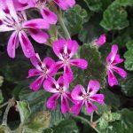 Pelargonium echinatum Miss Stapleton perennial plant