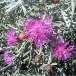 Centurea gymnocarpa perennial plant