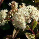 Sedum telephium subsp. ruprechtii 'Beth Chatto's'