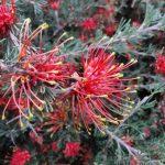 Grevillea thelemanniana Red Rambler Australian native plant